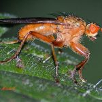 Drosophila hydei (large fruit fly)