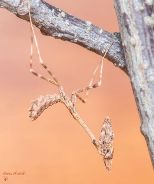 Empusa pennata (Conehead Mantis)