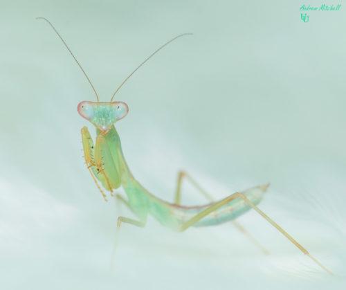 Hierodula sp 'blue' (Malaysian Blue Mantis)