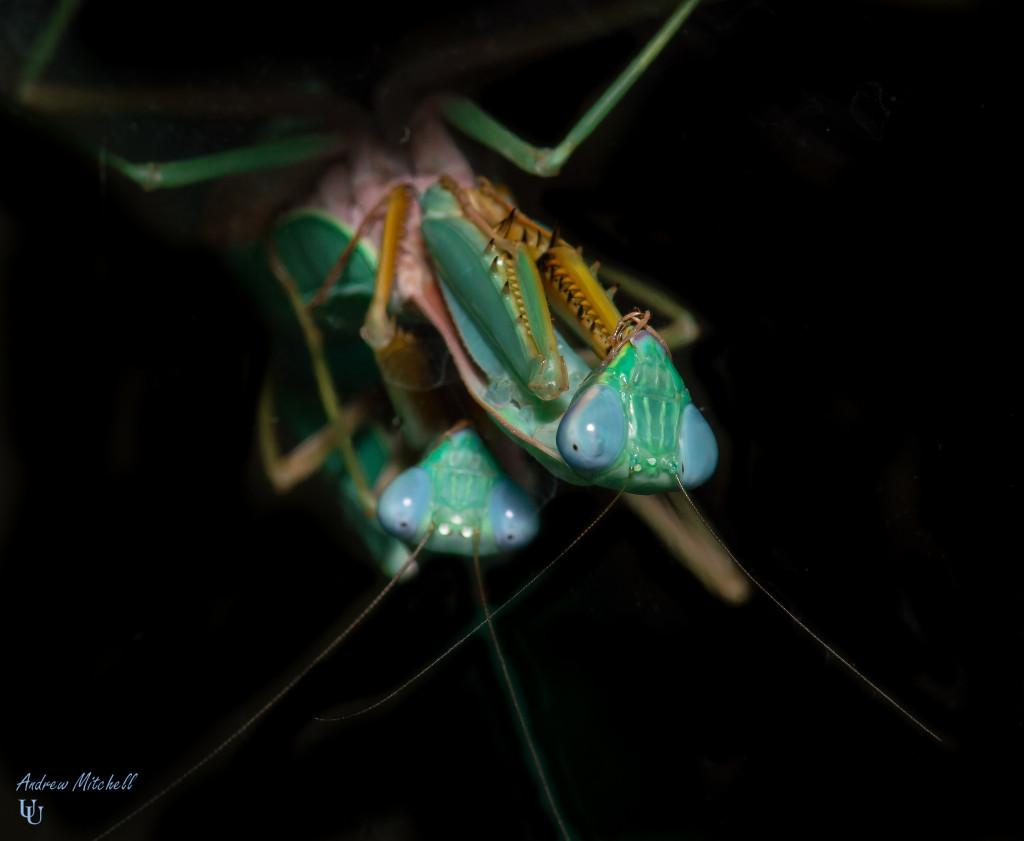 Praying Mantis Oothecas