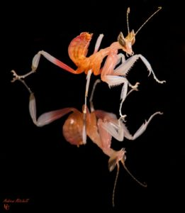 Hymenopus coronatus (Orchid Mantis) for sale