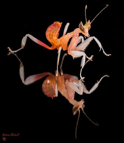 Hymenopus coronatus (Orchid Mantis) (Nymph)