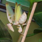 Hymenopus coronatus (Orchid Mantis) (Adult Female)