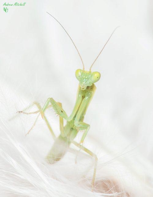 Orthodera novaezealandiae (New Zealand Mantis)