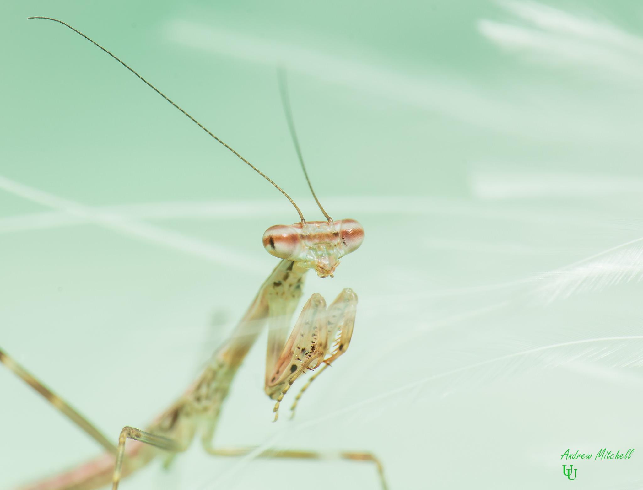 Polyspilota aeruginosa (Madagascan Marbled Mantis)