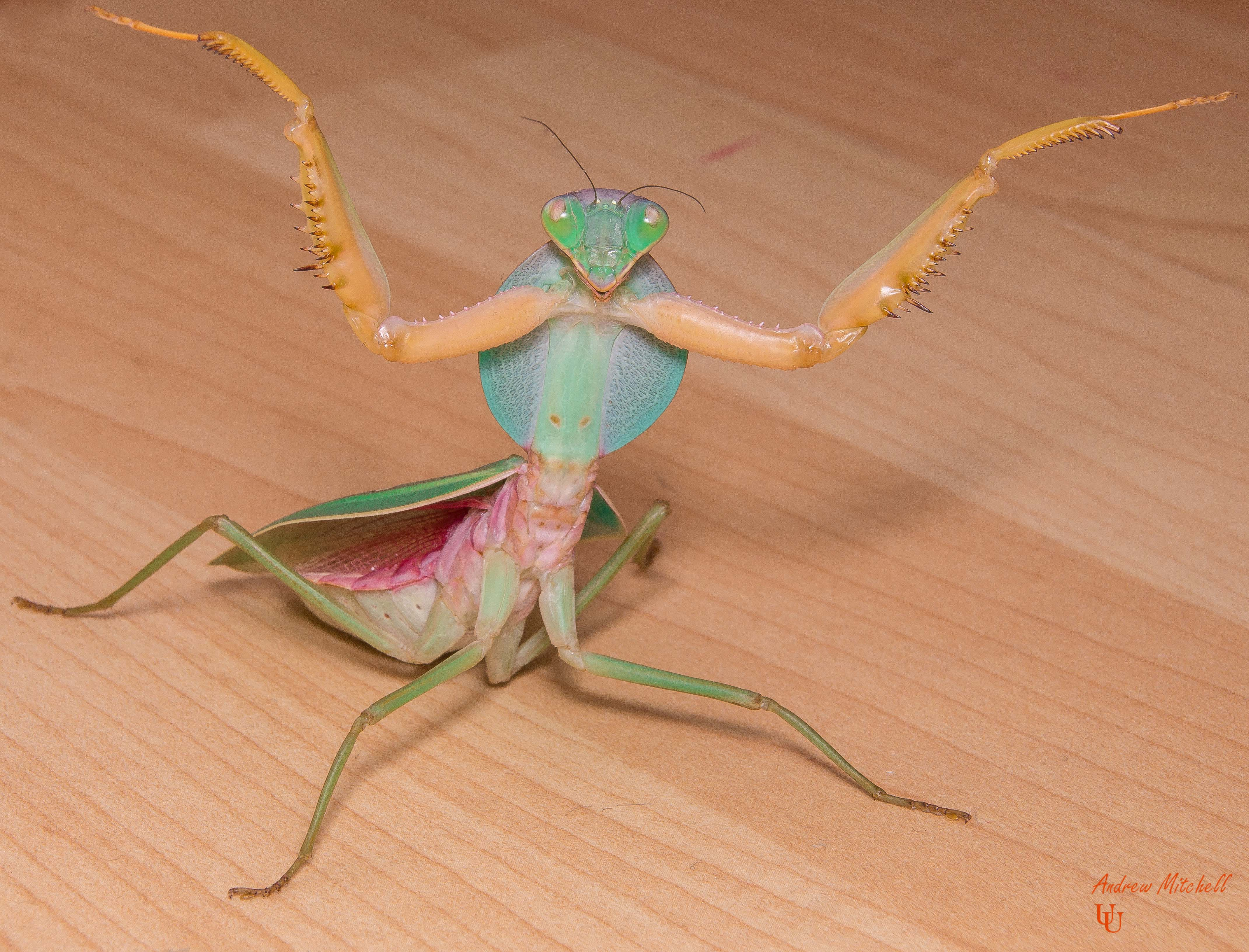 Rhombodera Valida Giant Malaysian Shield Mantis The