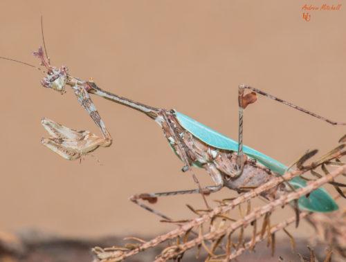 Sibylla pretiosa (Cryptic Mantis)