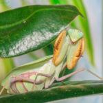 Sphodromantis lineola (African Lined Mantis)