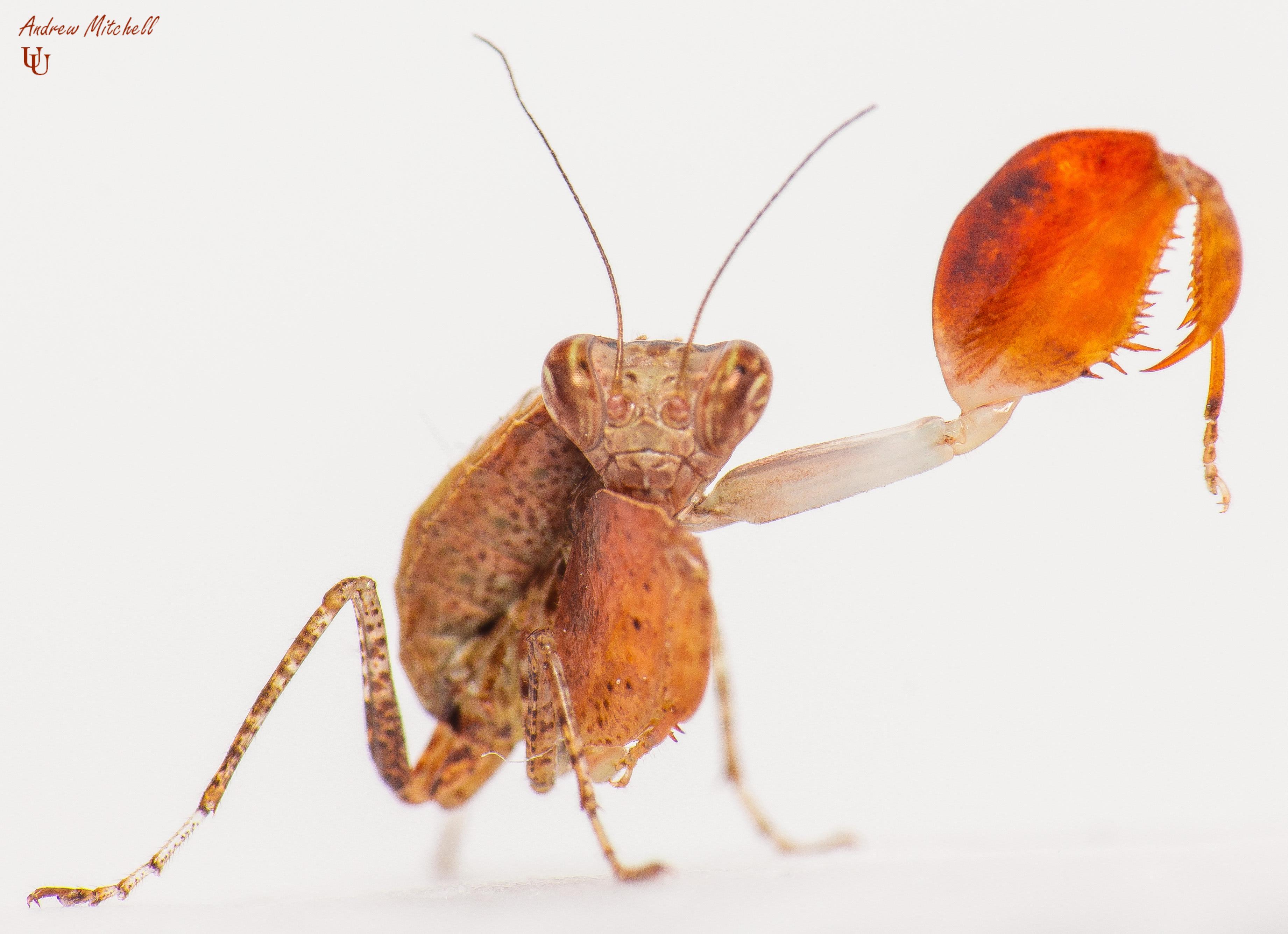 Hestiasula cf hoffmanni (Boxer Mantis)
