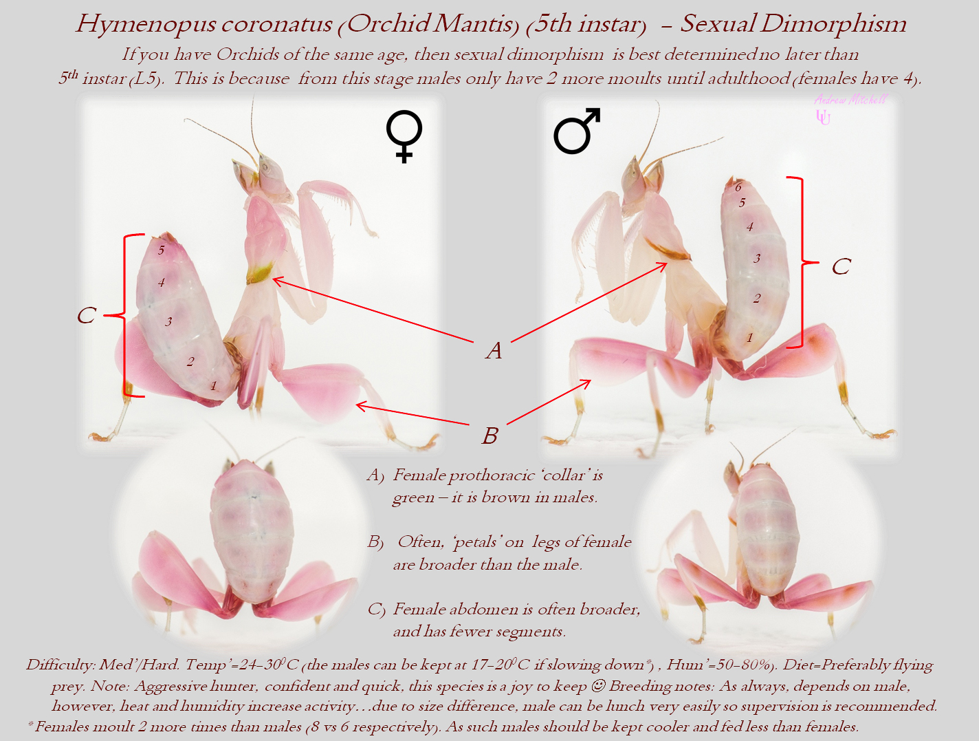 Hymenopus coronatus (Orchid Mantis) (5th instar - Sexual dimorphism)