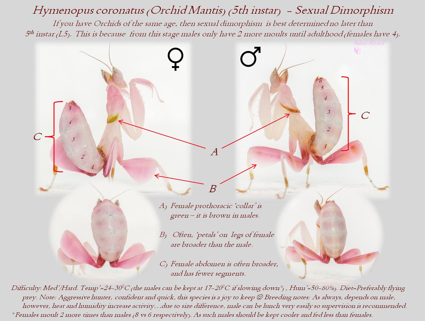 Hymenopus coronatus (Orchid Mantis) (5th instar - Sexual dimorphism)