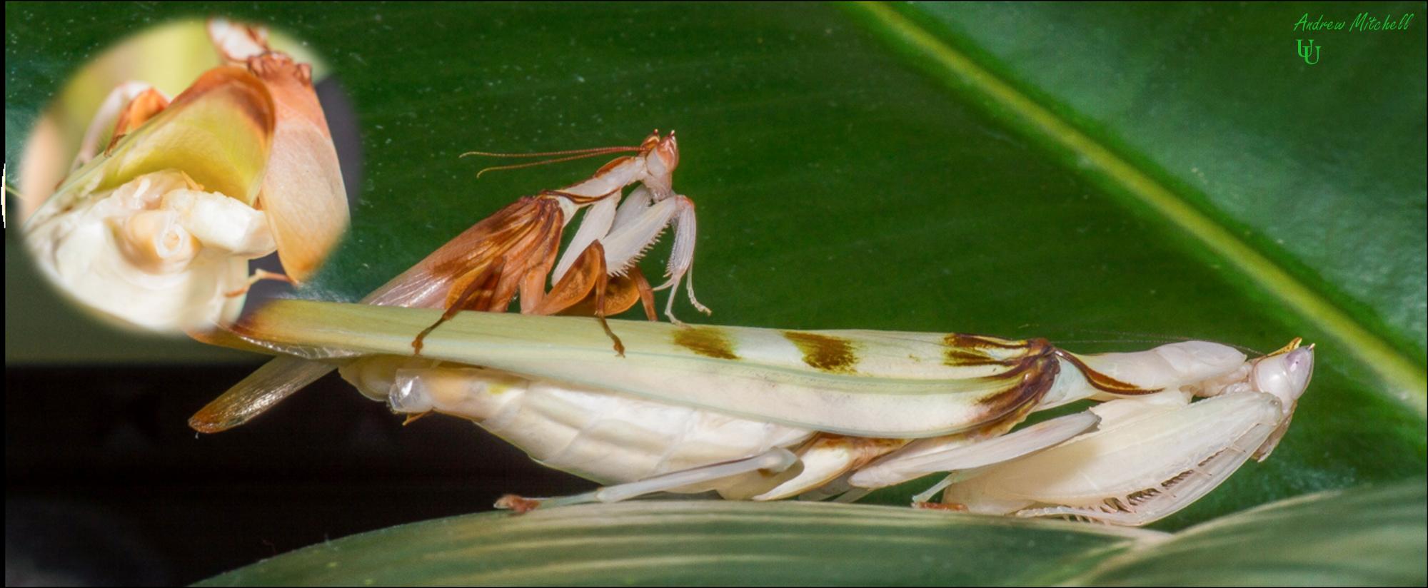 Hymenopus coronatus (Orchid Mantis) (Adult pair mating)