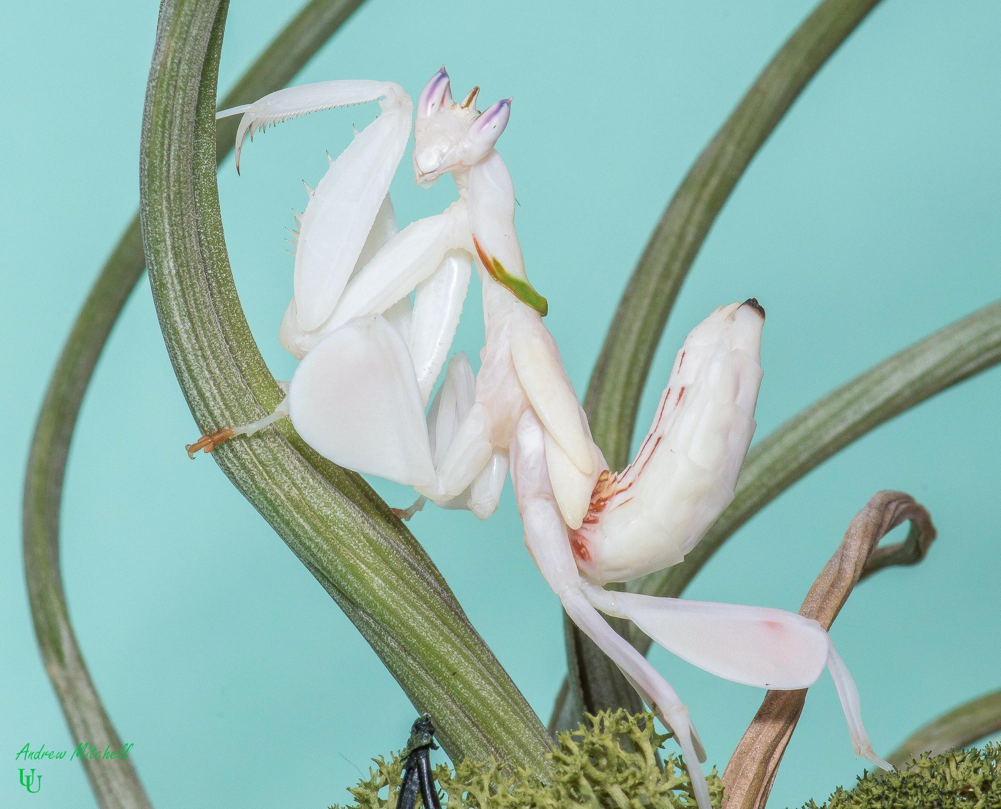 Hymenopus coronatus (Orchid Mantis) (Sub Adult Female)