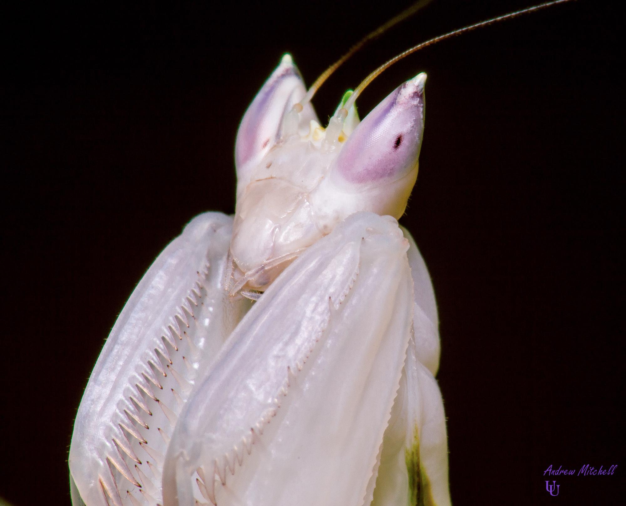 Hymenopus Coronatus Orchid Mantis For Sale