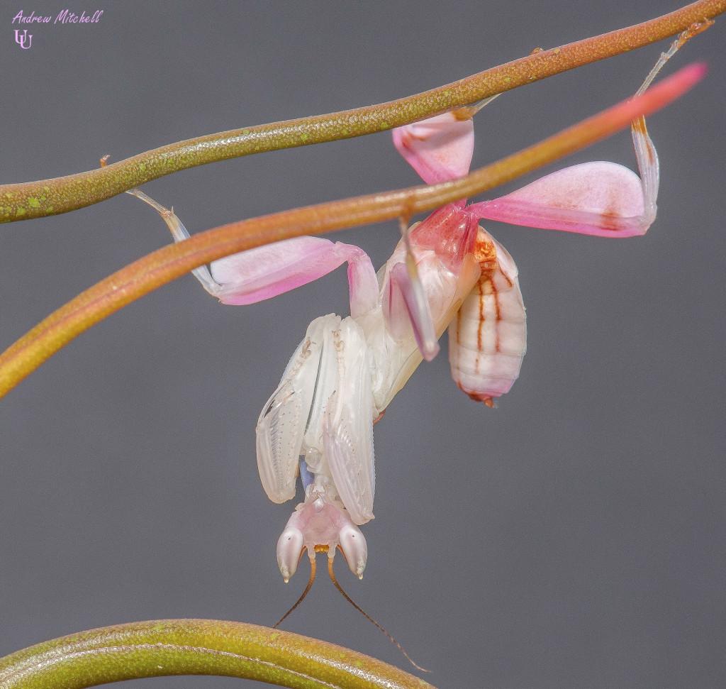 Hymenopus coronatus (Orchid Mantis) (Sub Adult Male)