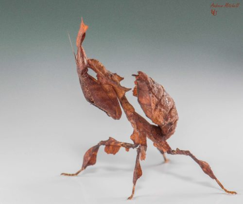 Phyllocrania paradoxa (Ghost Mantis) (Female nymph)
