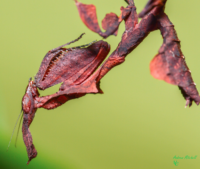 Phyllocrania Paradoxa For Sale
