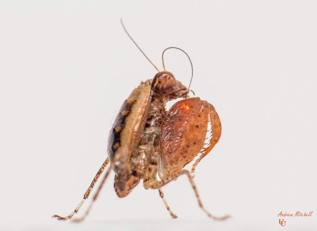 Hestiasula cf hoffmanni (Boxer Mantis) New Mantids