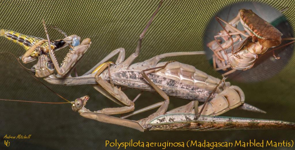 Polyspilota aeruginosa (Madagascan Marbled Mantis) New Mantids