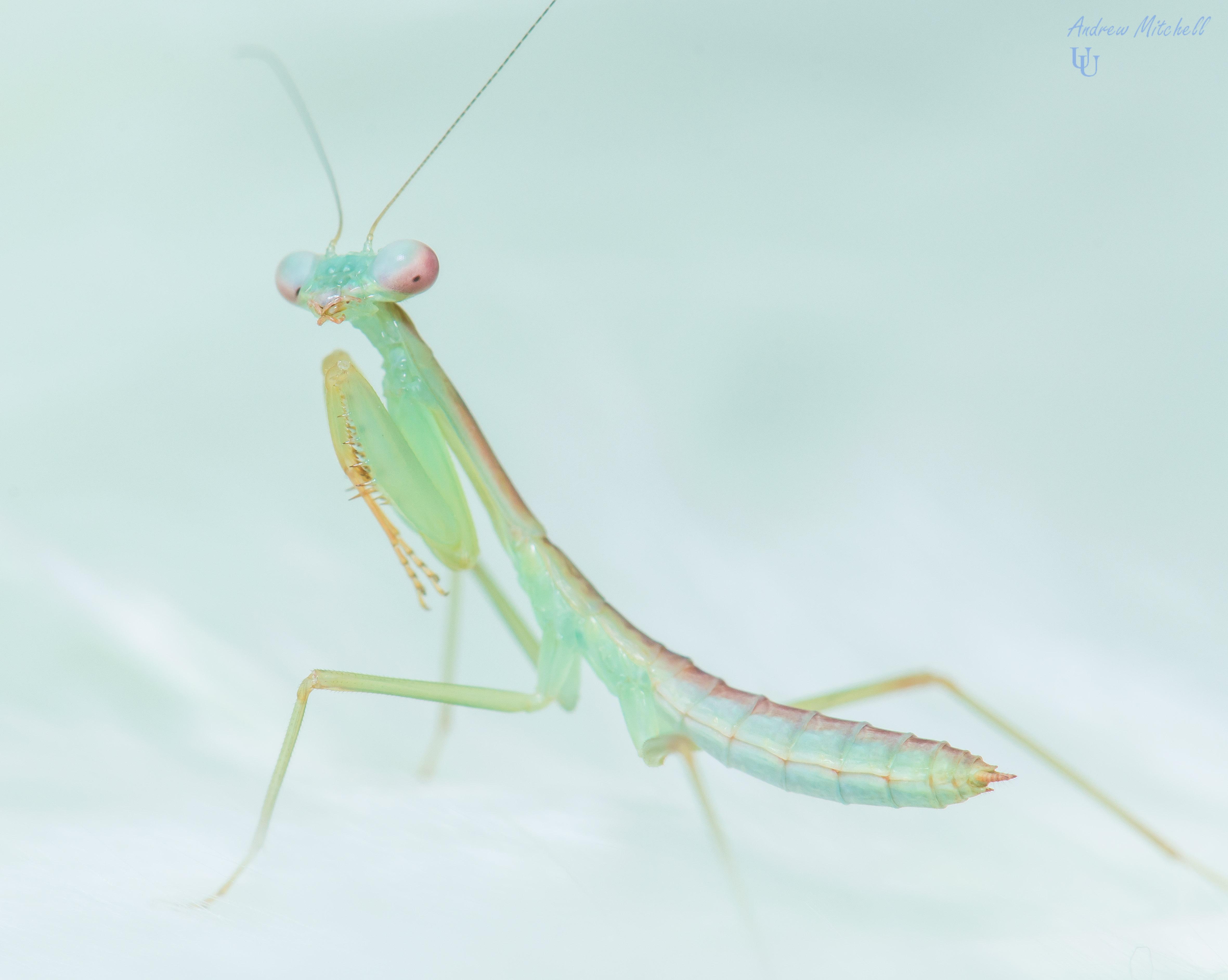 Hierodula Sp Blue Malaysian Blue Mantis 2nd Instar