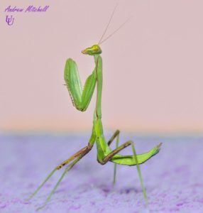 Hierodula membranacea (Giant Asian Mantis)