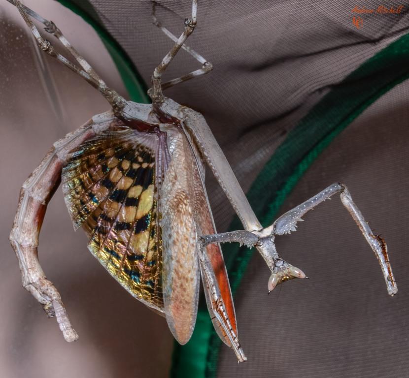 Heterochaeta orientalis (Cat Mantis) (Giant African Stick Mantis)