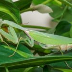 Rhombodera megaera (Giant Shield Mantis)