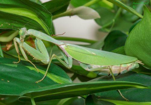 Rhombodera megaera (Giant Shield Mantis)