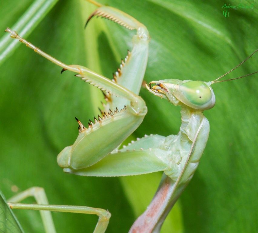 Rhombodera Megaera Giant Shield Mantis For Sale
