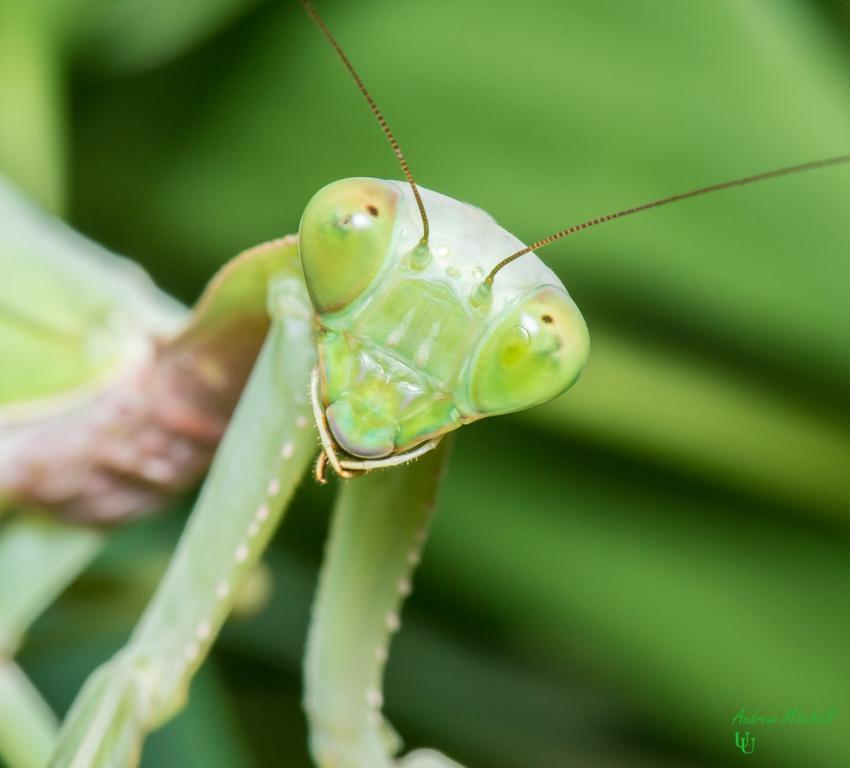 Rhombodera Megaera (Giant Shield Mantis) For Sale