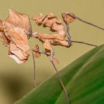 Idolomantis diabolica (Giant Devil's Flower Mantis)