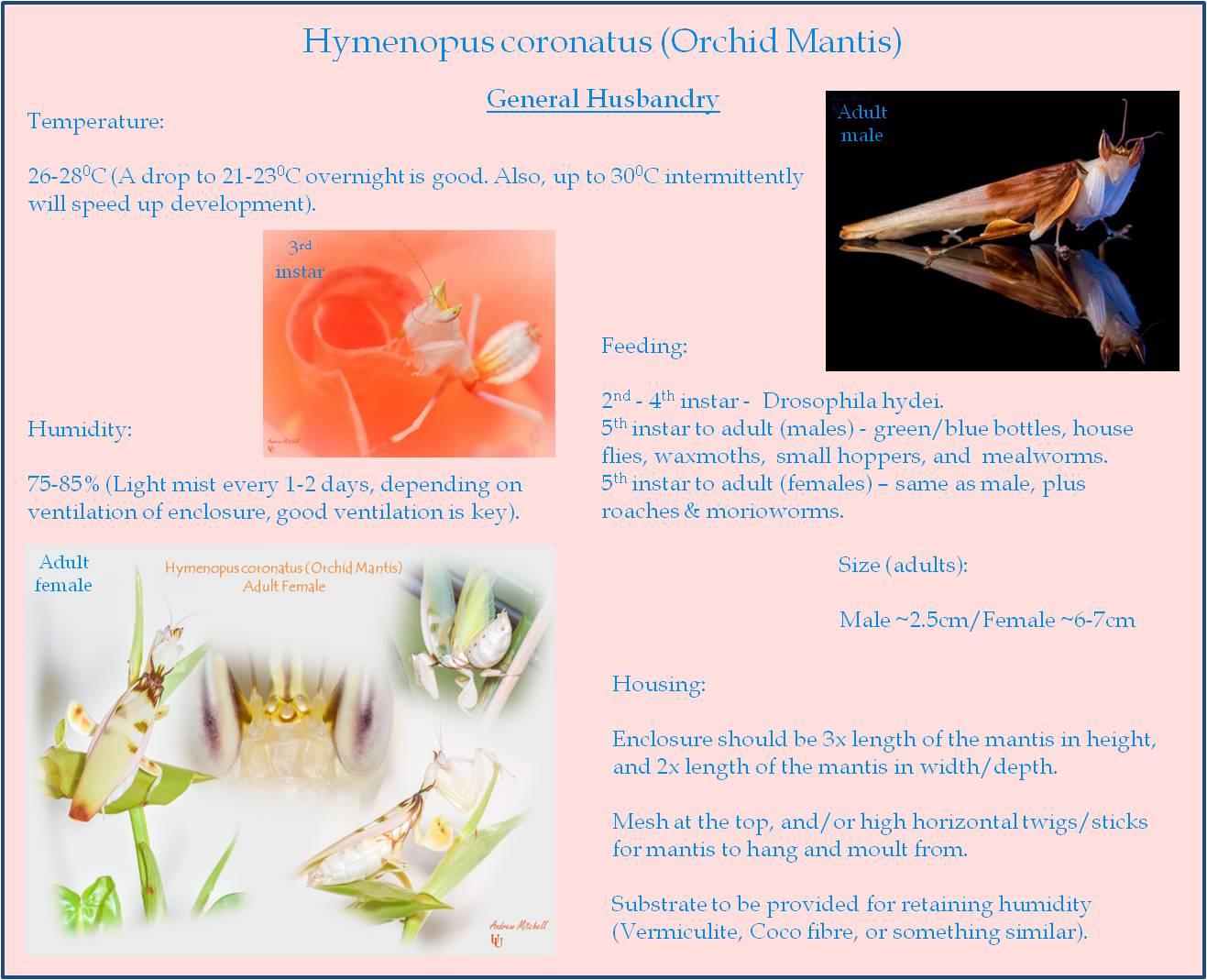 Hymenopus coronatus (Orchid Mantis) - Basic Care Sheet