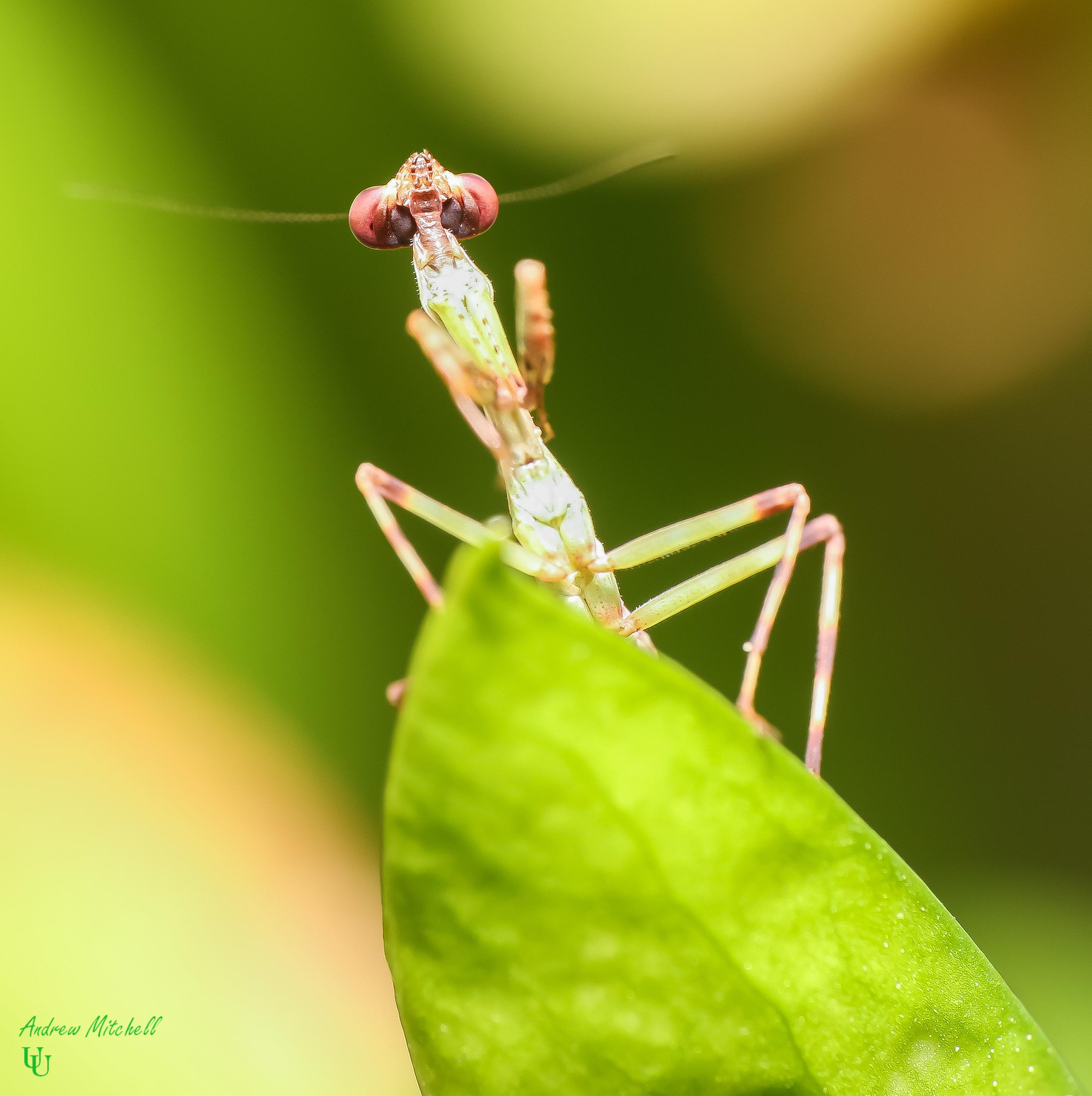 Pseudoxyops Perpulchra Peruvian Leaf Mantis For Sale