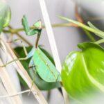 Pseudoxyops perpulchra (Peruvian Leaf Mantis)