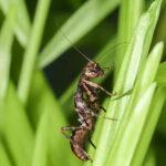 Raptrix sp (Peruvian Ant Mantis)