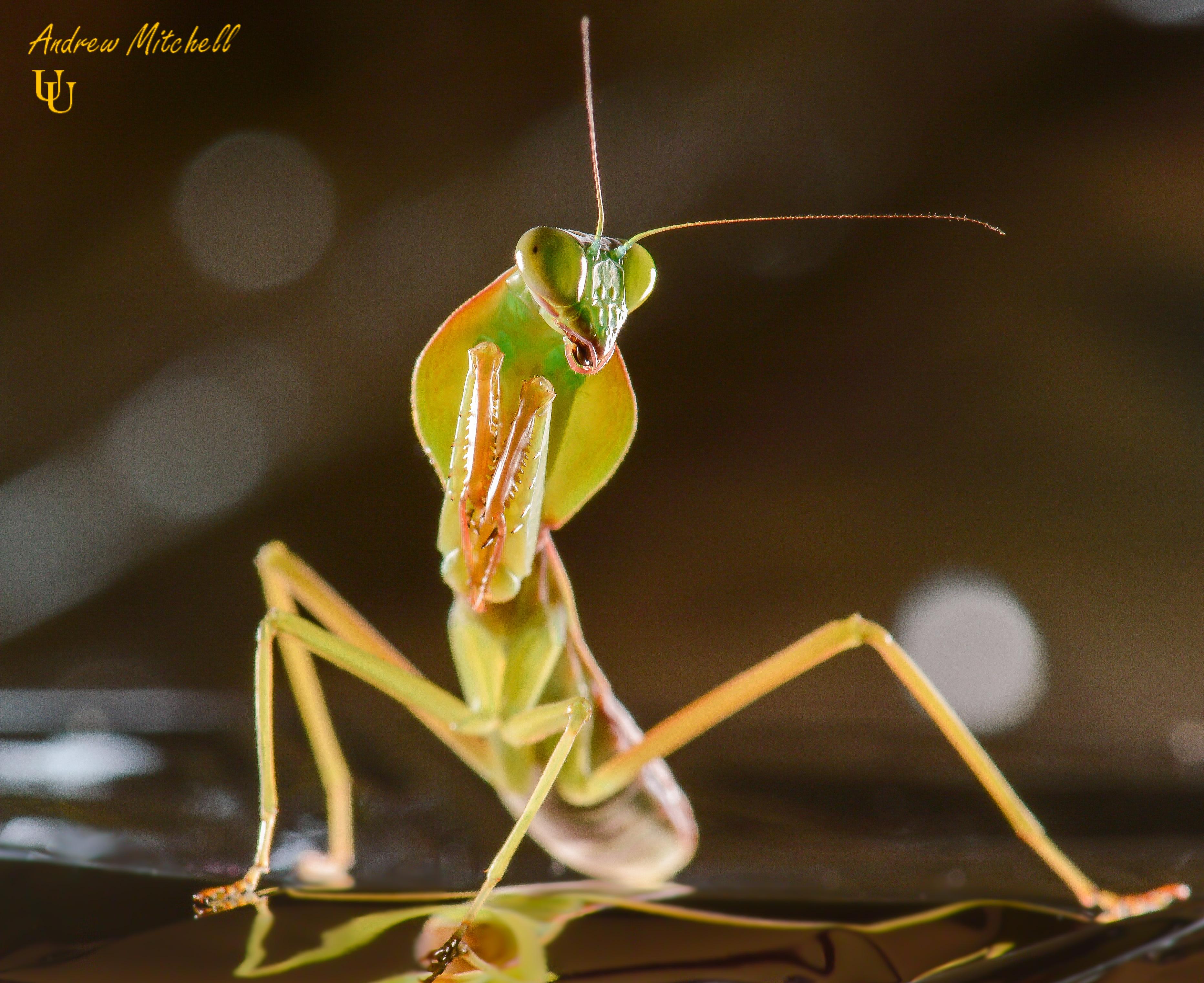 Rhombodera Basalis Giant Shield Mantis For Sale