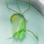 Oxyopsis peruviana (Peruvian Mantis)