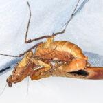 Deroplatys desiccata (Dead Leaf Mantis)