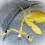 Stagmatoptera femoralis