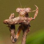 Deroplatys lobata (Malaysian Dead Leaf Mantis)