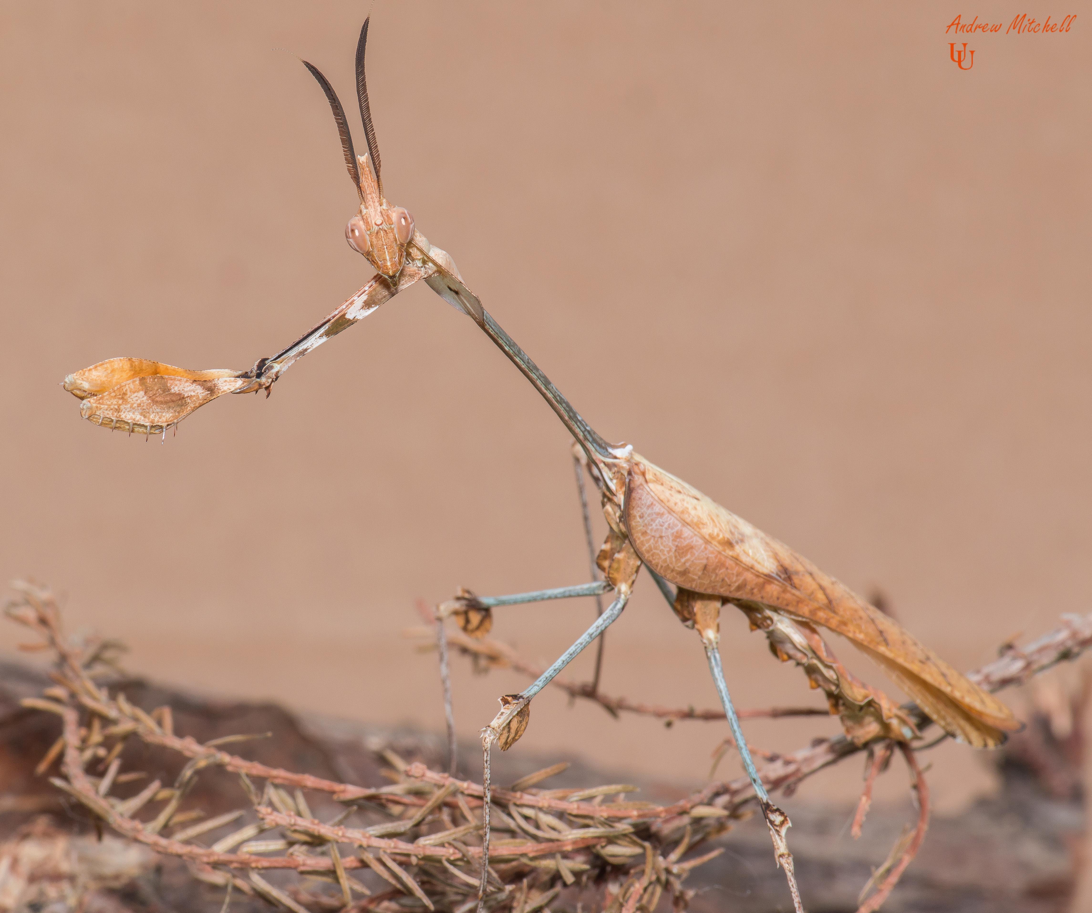Gongylus gongylodes (Wandering Violin Mantis)