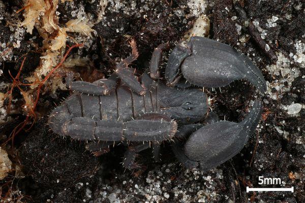 Chaerilus variegatus (Lampung Black)