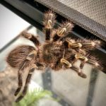 Grammostola pulchripes (Chaco golden knee)