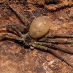 Heteropoda cf. Venatoria (Gaint Crab Spider)