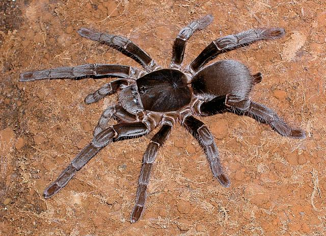 Hysterocrates gigas (Giant Baboon Spider)