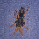 Kochiana brunnipes (Dwarf pink leg)