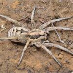 Lycosa praegrandis (Wolf Spider)
