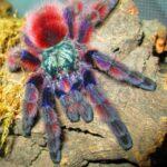 Caribena versicolor (Antilles Pinktoe)