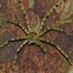 Heteropoda boiei (Lichen Huntsman Spider)