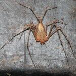 Scytodes longipes (Long-Legged Spitting Spider)
